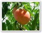 peach1.jpg